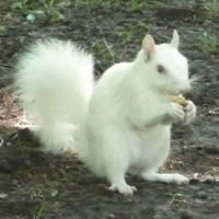 White Squirrel found in Brevard NC.