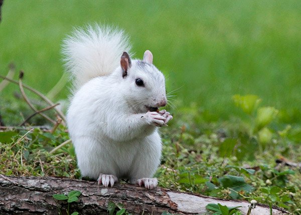 Fun things to do in Hendersonville NC : White Squirrel found in Brevard NC.